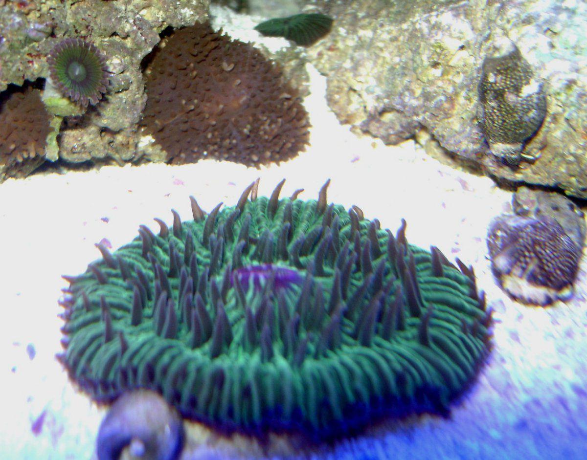 060514 fungi plate coral.JPG