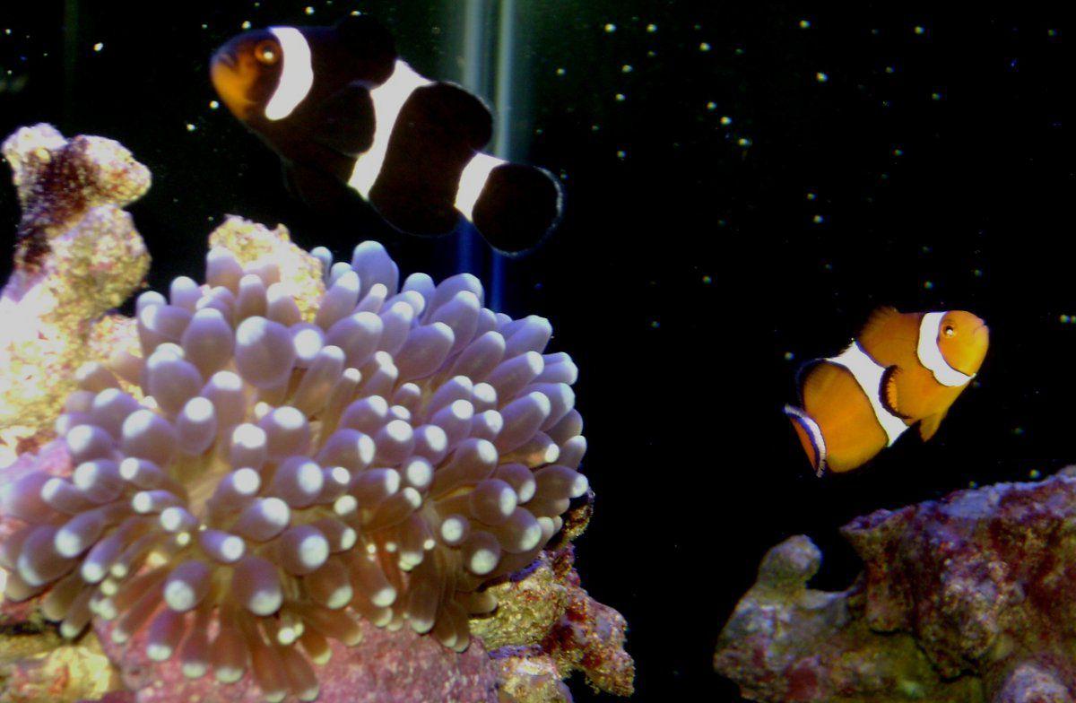 060514 nighttime clowns and anemone.JPG