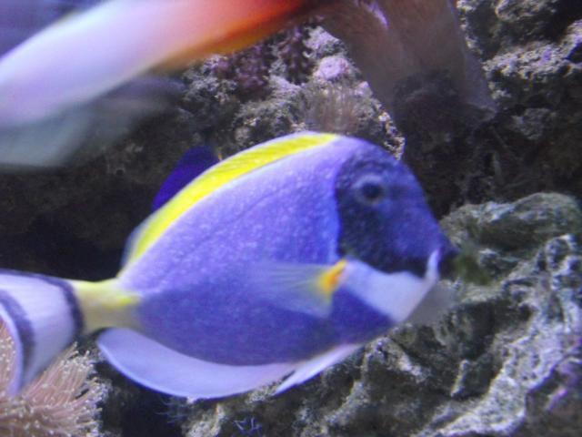velvet odinium living reefs