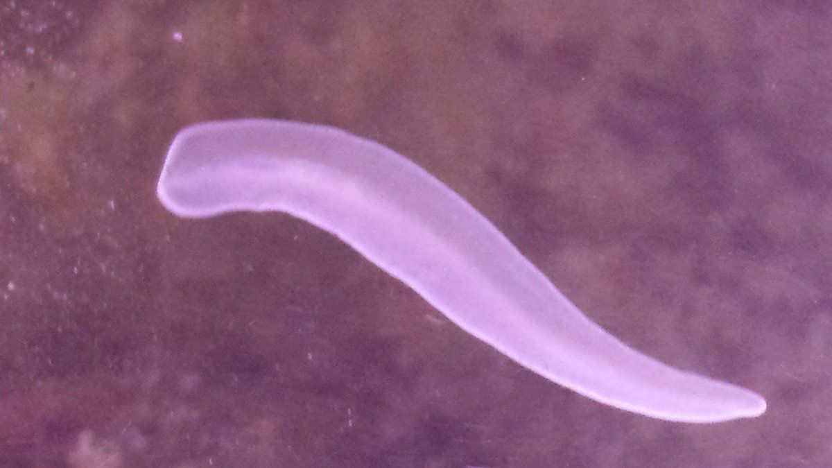 white worm? slug? flat thing? | Living Reefs