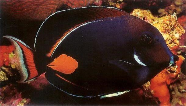 Achilles surgeonfish.jpg