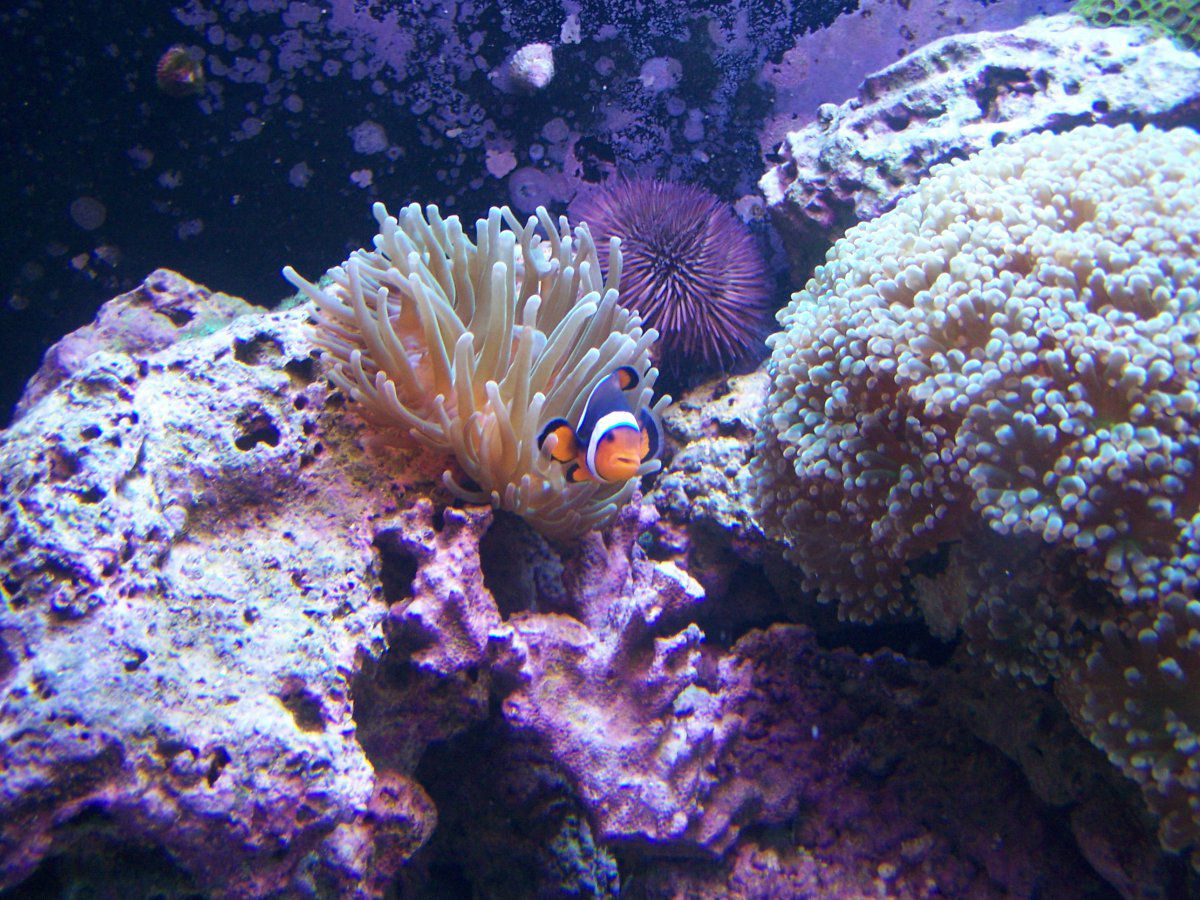 Anemone, Clown fish, Frogspawn, Purple urchin.JPG
