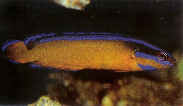 Arabian Bluelined Dottyback.jpg