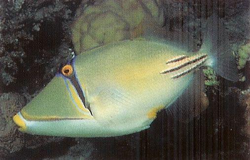 Arabian Picasso Triggerfish.jpg