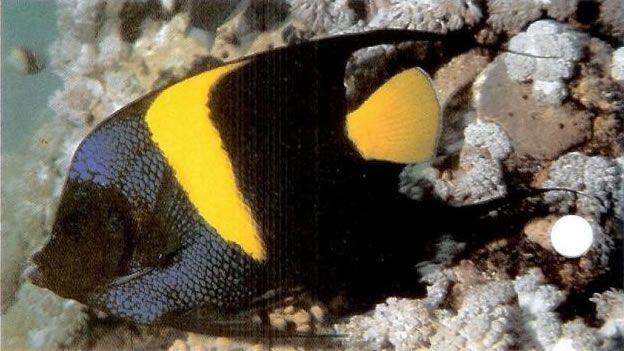 Asfur Angelfish.jpg