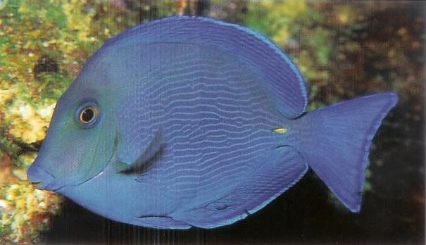 Atlantic blue tang.jpg