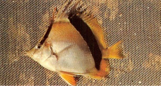Bank butterflyfish.jpg