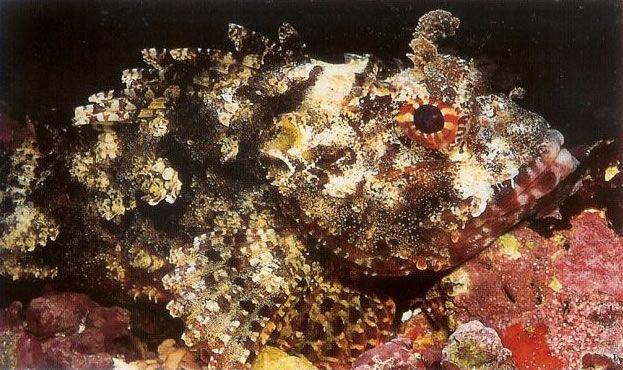 Barchin Scorpionfish.jpg
