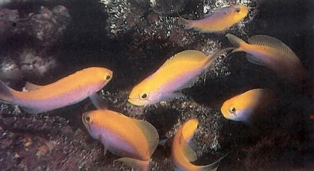 Bartletts Anthias.jpg