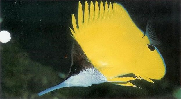 Big longnose butterflyfish.jpg