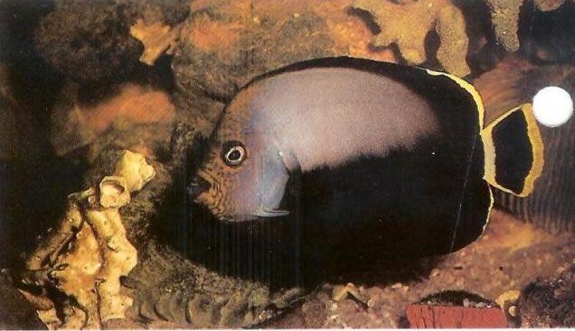 Black Velvet Angelfish.jpg