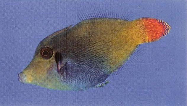 Blackbar filefish.jpg