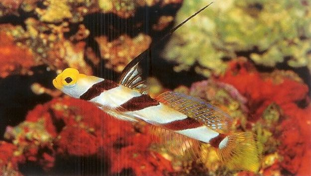 Blackray shrimp goby.jpg