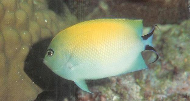 Blackspot Angelfish Female.jpg