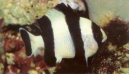 Blacktail Dascylius.jpg