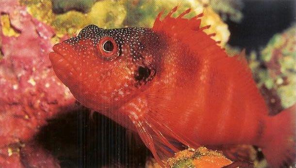 Blood red hawkfish.jpg