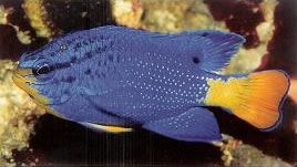 Blue Damselfish.jpg
