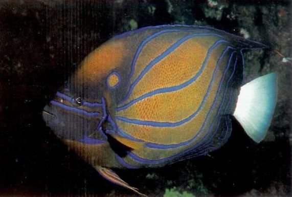 Blue Ring Angelfish.jpg