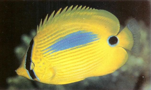 Blue spot butterflyfish.jpg