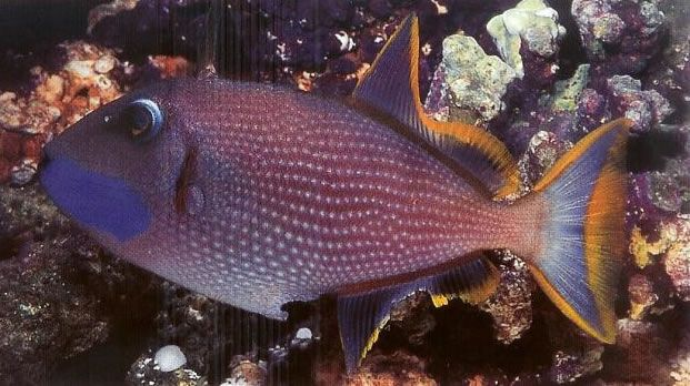 Bluechin Triggerfish.jpg