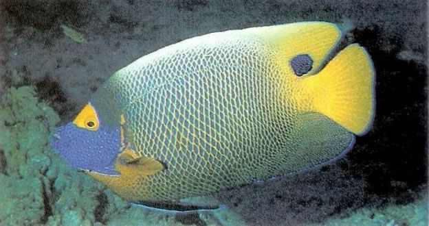 Blueface Angelfish.jpg