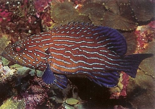 Bluelined grouper.jpg