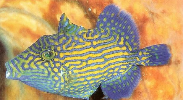 Bluelined triggerfish.jpg