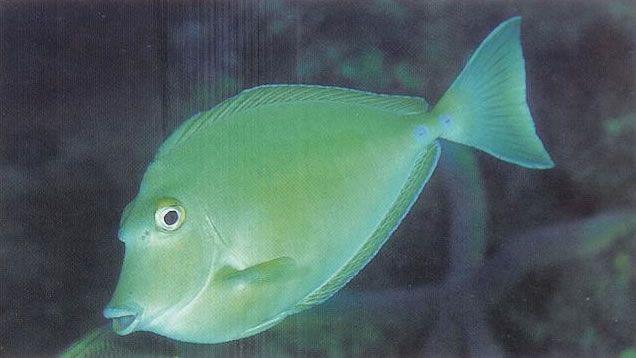 Bluespine unicornfish.jpg