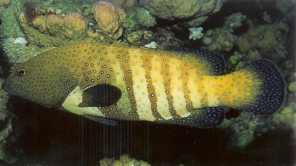 Bluespotted grouper.jpg