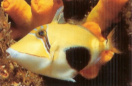 Bursa Triggerfish.jpg