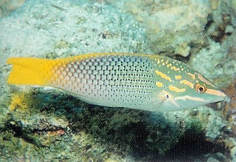 Checkerboard Wrasse.jpg