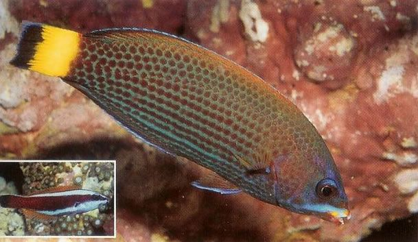 Chiseltooth Wrasse.jpg