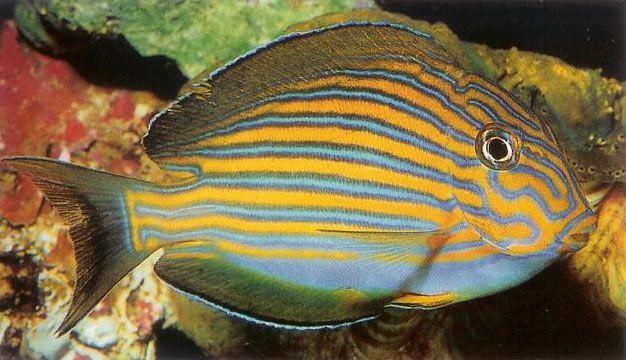 Clown surgeonfish.jpg