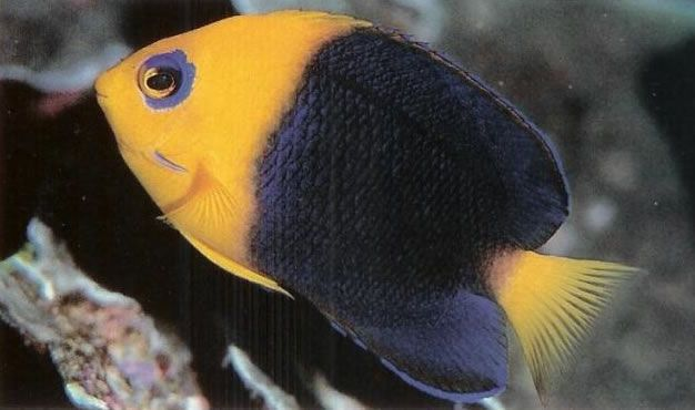 Cocos Pygmy Angelfish.jpg