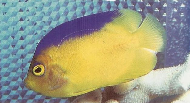 Colins Angelfish.jpg