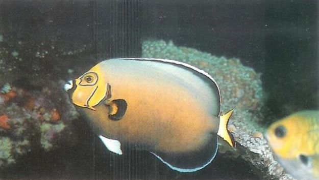 Conspicuous Angelfish.jpg