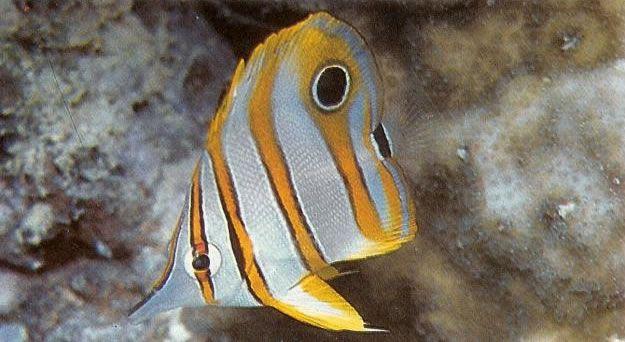 Copperbanded butterflyfish.jpg