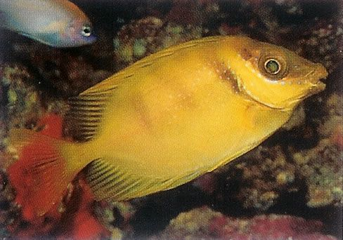 Coral Rabbitfish.jpg
