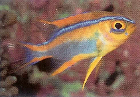 Crosses Damselfish.jpg