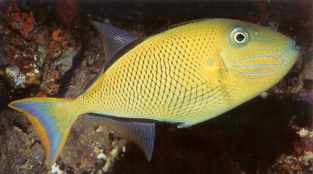 Crosshatch Triggerfish.jpg