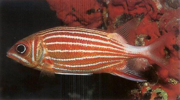 Crown squirrelfish.jpg