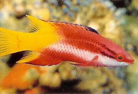 Cuban Hogfish.jpg