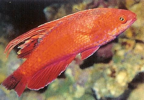 Dot and Dash Flasher Wrasse.jpg