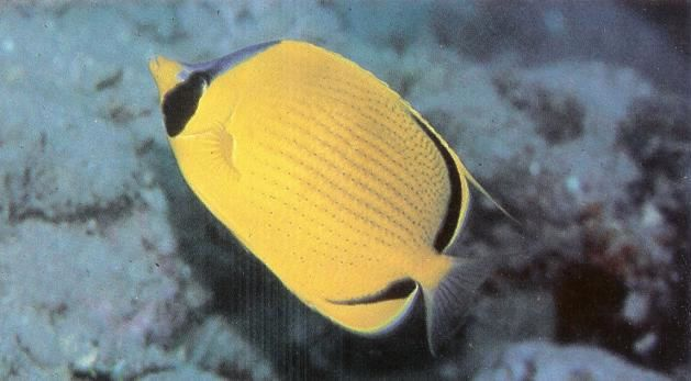 Dotted butterflyfish.jpg