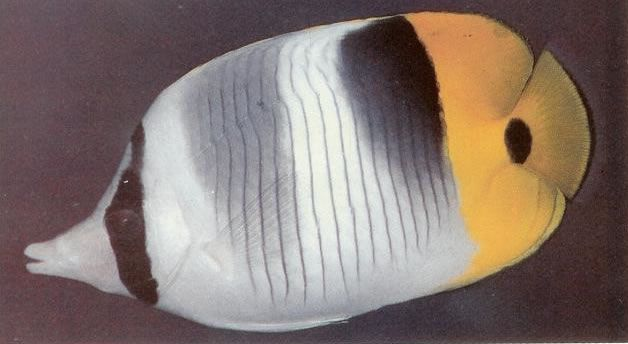 Doublesaddle butterflyfish.jpg