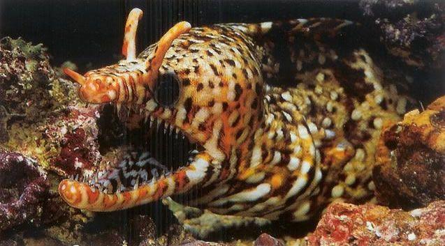 Dragon moray.jpg