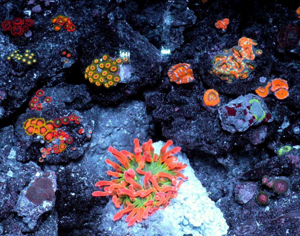 Saltwater aquarium - Dscn2337 Jpg