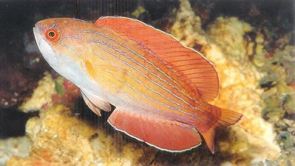 Eightline Flasher Wrasse.jpg