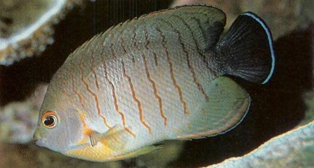 Elbls Angelfish.jpg