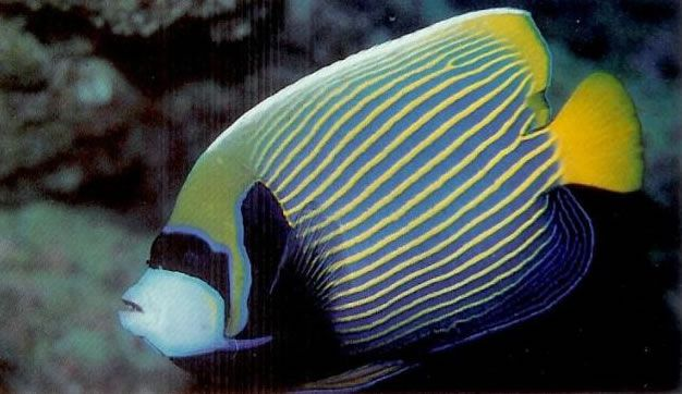 Emperor Angelfish.jpg